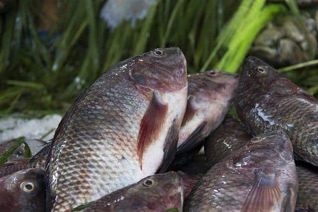 Fish-for-aquaponics-Tilapia